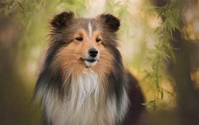 Shetland Sheepdog Sheltie Dog Pet Background Dogs