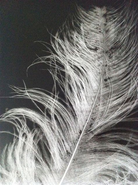 feathers ray xray ostrich feather sample bird rachel birds acetate photocopied onto give resume