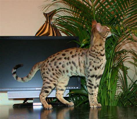 F4 Queens  F4 Savannah Cat  Select Exotics