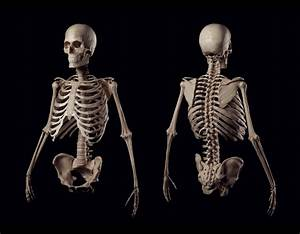 ArtStation - Human skeleton, Romjke Hitoffskiy