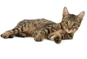 and cat serengeti cat purrfect cat breeds