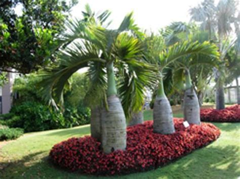 Garden Answer Age by 10 Seeds Bottle Palm Tree Hyophorbe Lagenicaulis