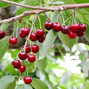 Taille De Cerisier : cerisier 39 bigarreau g ant d 39 hedelfingen 39 taille en ~ Melissatoandfro.com Idées de Décoration