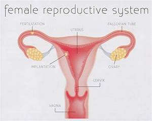 Human Female Reproductive System External