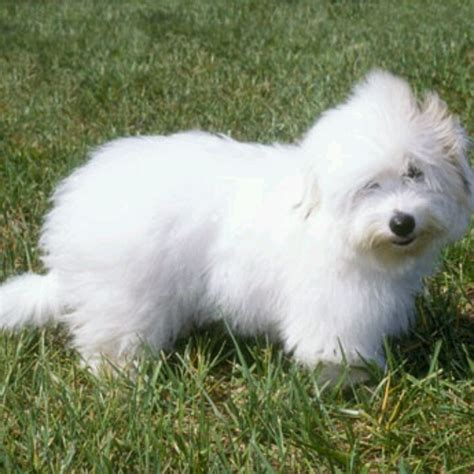 Small Low Shedding Breeds by 1000 Ideas About Small Dogs For Sale On