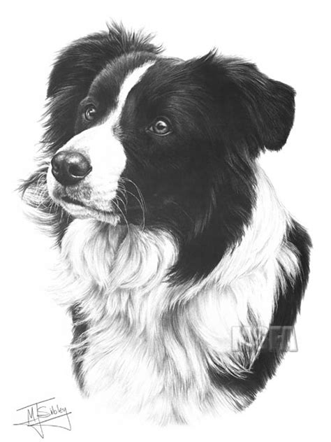 border collie fine art dog print  mike sibley