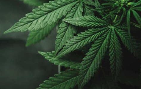 Liht Cannabis Eyes Final Nevada Cannabis Distribution