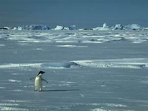 Pingouin Sur La Banquise : la reproduction des pingouins ~ Melissatoandfro.com Idées de Décoration