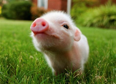 Baby Animal Wallpaper - baby pigs wallpapers wallpaper cave
