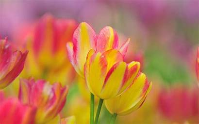 Yellow Pink Tulips Wallpapers Flowers Grey Border
