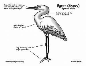 Egret  Snowy