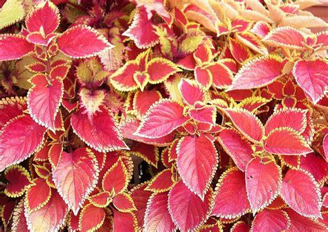 Zimmerpflanze Rot Grüne Blätter by Solenostemon Scutellarioides Trusty Buntnessel