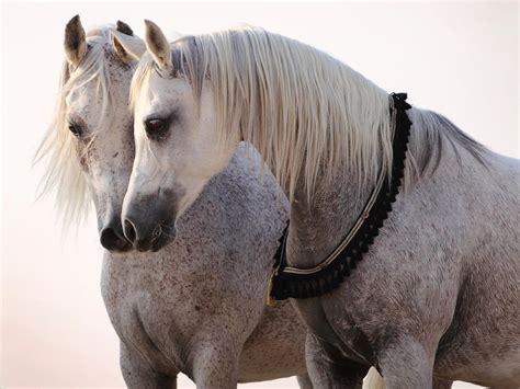 horses communicate  signals