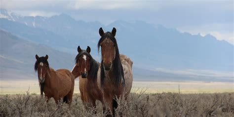 wild horses species invasive symbol