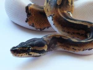 Python Shedding Signs by Pacific Pythons 187 Python Info
