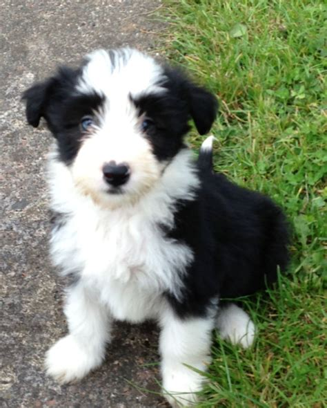 Bearded Collie Puppies Rescue Pictures Information Temperament Characteristics Animals