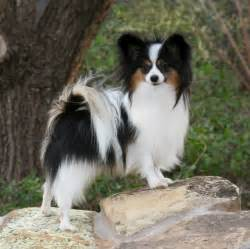 Papillon Dogs and Puppies