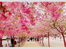 1000 Gambar Bunga Sakura Animasi