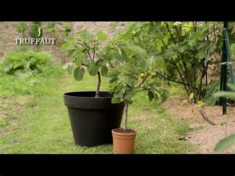 planter figuier en pot comment planter un figuier jardinerie truffaut tv