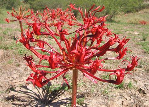 brunsvigia orientalis the candelabra flower