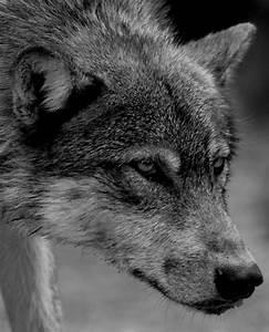 brown wolf on Tumblr