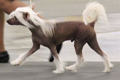 chinese crested breed information chinese crested images