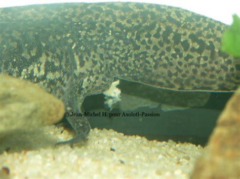 aquarium pour axolotl aquarium pour axolotl prix axolotls hibiens poissons d