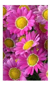 Plants Beautiful Flowers Pink Marguerite Daisy Hd ...