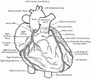 2  Coronary Arteries Branching From The Aorta And Feeding