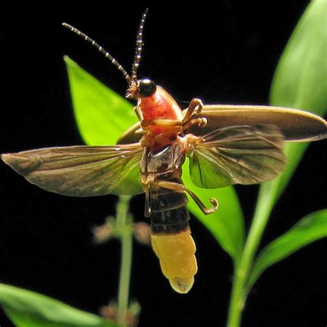 14 Fun Facts About Fireflies  Science Smithsonian