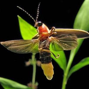 14 Fun Facts About Fireflies