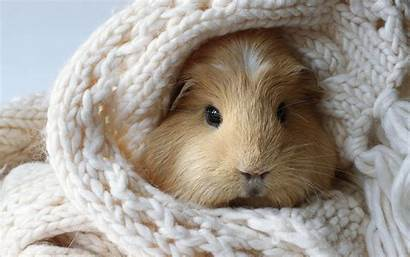 Guinea Pig Pigs Wallpapers Facts Cavia Achtergrond