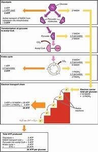 Diagram  Glycolysis And Krebs Cycle Diagram