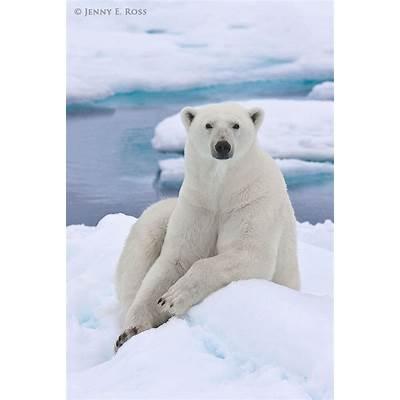Polar bear (Ursus maritimus) resting on sea ice.Polar