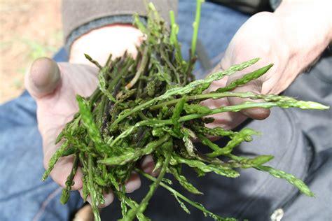 cuisiner des asperges sauvages asperges sauvages où quand comment philange
