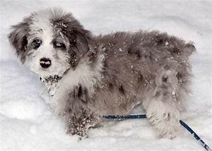 Aussiedoodle Dog Breed » Australian Shepherd Poodle Mix