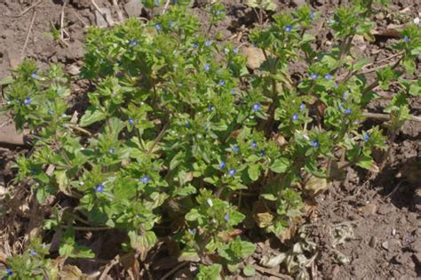 blue flower wall arvensis wall speedwell common speedwell