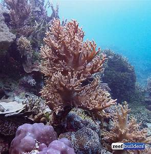 Get to know the leather corals: Sarcophyton, Lobophytum ...