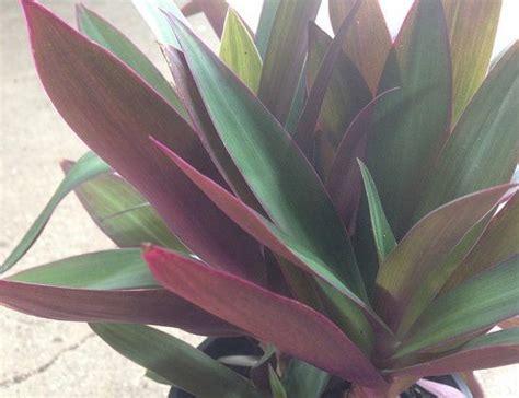moses   cradle dwarf  pot   plants