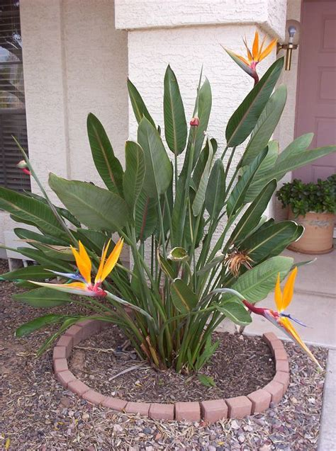 Growing The Tropical Bird Of Paradise Flower In Phoenix