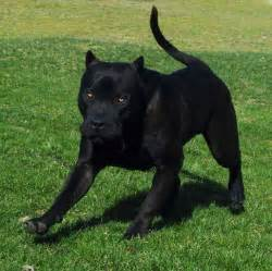 25 best ideas about cane corso on pinterest italian