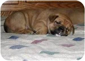 Golden Bulldog Puppies | Adopted Puppy | conyers, GA ...