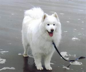 Samoyeds Amazing Breed My Big White Fluffy Dog Pinterest ...