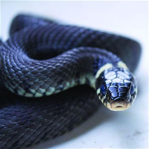 black snake control removal of black snakes catseye