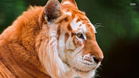 Golden Tiger Animals Wallpaper Fanpop