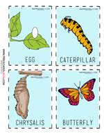 the activity sequencing cards printable the 709 | ButterflyLifeCycleCardsColor2