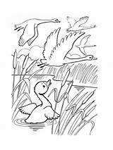 Coloring Pages Swan Birds Swans Printable Mycoloring sketch template