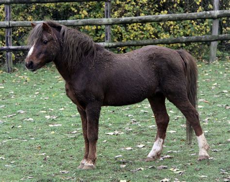 fat horse ponies horses laminitis risk why