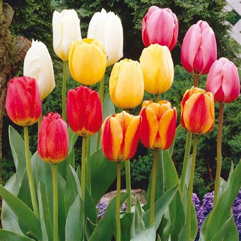 pictures of tulip bulbs darwin hybrid mix tulip bulbs buy tulip bulbs on sale at edenbrothers com