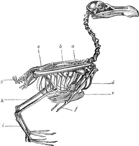 skeleton   bird clipart